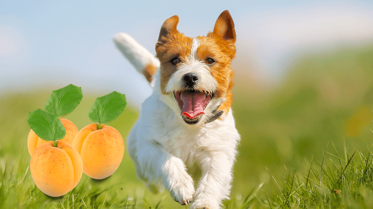 Can Dogs Eat Dried Apricot? - Pet Grasp