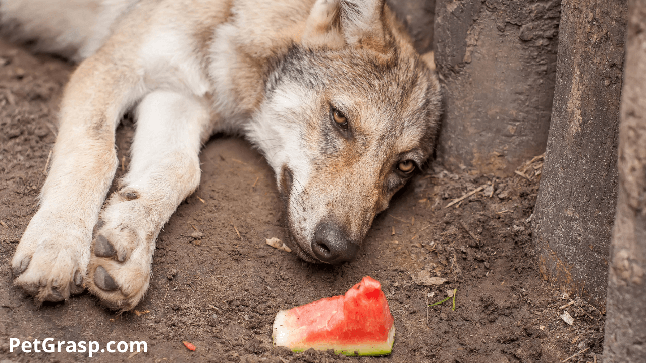 wolf eating watermelon