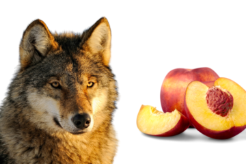 Can a wolf eat peach?