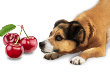 can dogs eat cherry safely