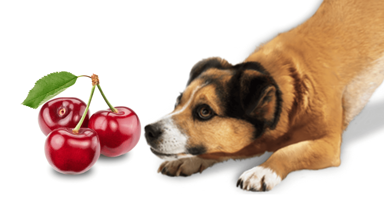 Can dogs eat cherries safely?