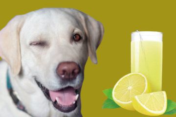 Can a dog drink lemon water or lemonade?