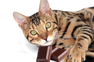 Can cats eat chocolate