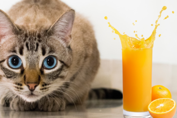 can cats drink orange juice
