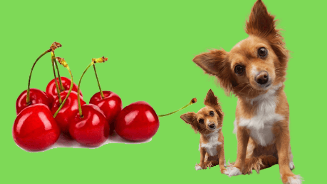 can dogs eat cherry