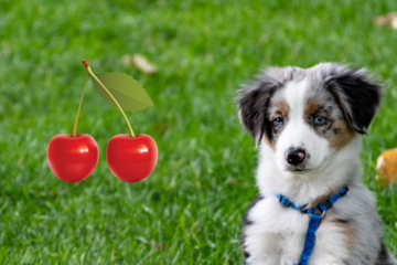 can dog eat cherry