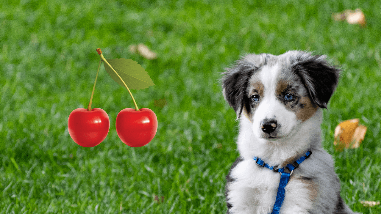 Can a dog eat cherry?